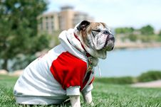 Free English Bulldog Stock Images - 9494614