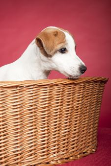 Free Cute Jack Russell Terrier In Wicker Basket Royalty Free Stock Photography - 9495627