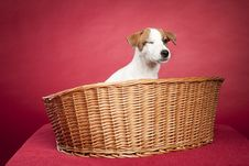 Free Cute Jack Russell Terrier In Wicker Basket Royalty Free Stock Images - 9496049