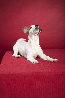 Free Cute Jack Russell Terrier Sitting Royalty Free Stock Photography - 9496167