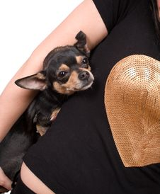 Free Chihuahua With Her  Mistress Isolated Royalty Free Stock Photo - 9497495