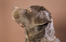 Free Brown Labrador Royalty Free Stock Photo - 9499575
