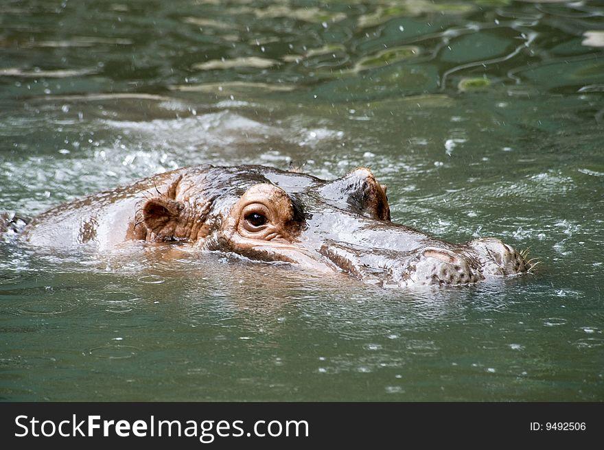 Nile Hippopotamus