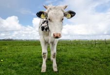 Free White And Black Cow During Daytime Stock Photo - 94945410
