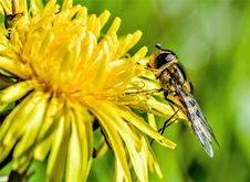 Free Hoverfly On Dandelion Stock Photography - 94945482