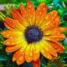 Free Dew Drops On Orange Flower Stock Images - 94945854