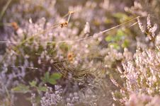 Free Spiderweb In Wildflowers Stock Images - 94983634