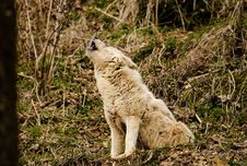Free Wolf Howling In The Forest Stock Photos - 94983713