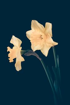 Free Yellow Daffodils Stock Photography - 94983762