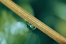Free Selective Focus Of Dew Drop On Stem Royalty Free Stock Photo - 94983825