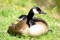 Free Goose Resting Royalty Free Stock Photo - 950105