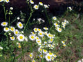Free Daisies Royalty Free Stock Image - 953466