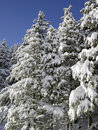 Free Snowy Fir Trees In The Sierra Nevada Royalty Free Stock Images - 953569