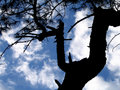 Free Tree Silhouette Stock Photography - 953642