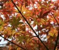 Free Japanese Maple Tree 2 Stock Image - 953671