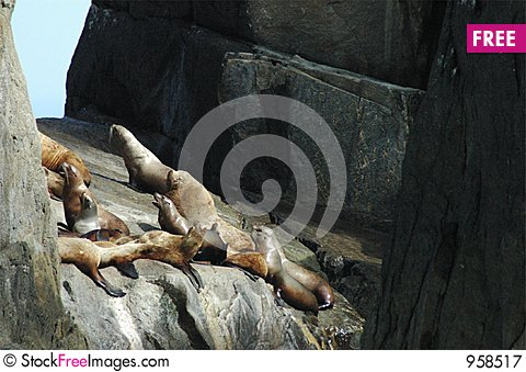 Free Steller S Sea Lion (harem) Royalty Free Stock Photography - 958517
