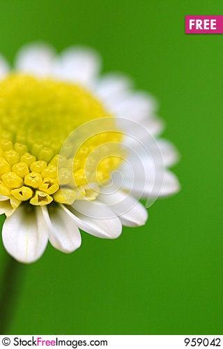 Free White Daisy Stock Photography - 959042