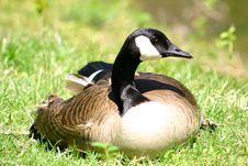Free Goose Resting Royalty Free Stock Photo - 950105
