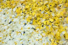 Yellow And White Petals Royalty Free Stock Photo