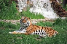 Free Tiger At Rest Stock Image - 951451