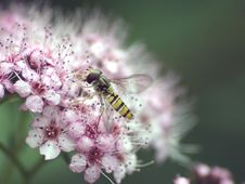 Free Hover Fly Stock Photo - 952680