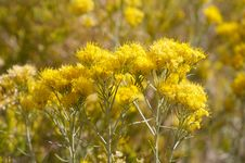 Free Yellow Flowers Royalty Free Stock Image - 953426