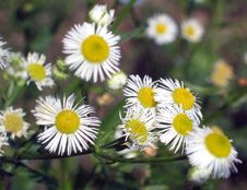 Free Daisies Royalty Free Stock Images - 953429