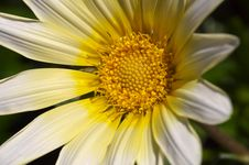 Free Yellow Daisy Royalty Free Stock Photo - 953445