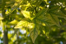 Free Leaves Stock Photography - 953452