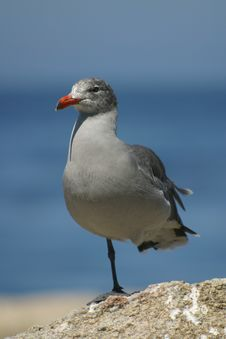 Free Gray Seagull Standing On One Leg Stock Photography - 953502