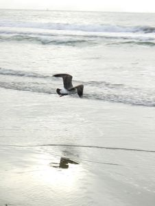 Free Lonely Seagull Stock Images - 953534