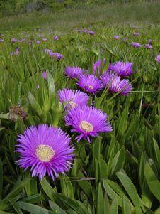 Free Purple Flowers On The Coast Stock Images - 953564