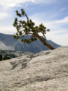 Free Yosemite Tree On Granite Stock Photo - 953640