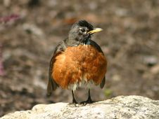 Free Robin Fluffing It S Feathers Stock Photos - 953853