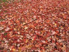 Free Orange Leaves Royalty Free Stock Image - 954096