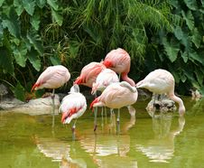 Free A Group Of Chilean Flamingo Stock Images - 954104