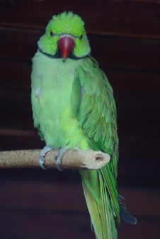 Free Parrot Stock Image - 954381
