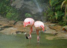 Free Chilean Flamingo Couple In Raining Stock Images - 954654