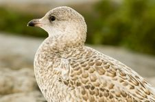 Free Sea Gull Stock Photo - 956910