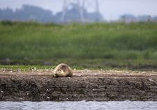 Common Seal On Sand Bank Royalty Free Stock Image