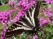 Free Pale Tiger Swallowtail Royalty Free Stock Photography - 956957