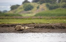 Free Common Seal With Pup Stock Image - 956971