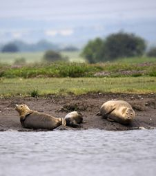 Family Of Harbour Seals Royalty Free Stock Images