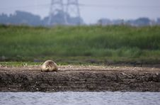 Lone Seal On Sand Bank Royalty Free Stock Photos