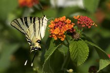 Free Swordtail Butterfly Stock Photography - 957132