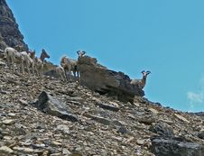 Free Big Horn Sheep On The Lookout Stock Photo - 957640