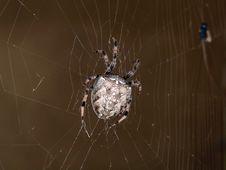 Free Spider Royalty Free Stock Photos - 957888