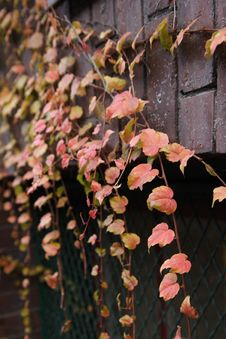 Ivy On A Brick Wall Royalty Free Stock Photo