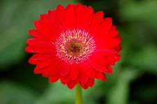 Free Red Gerbera Royalty Free Stock Photography - 958297