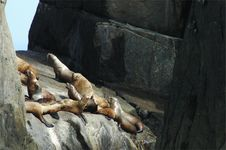 Steller S Sea Lion (harem) Royalty Free Stock Photography